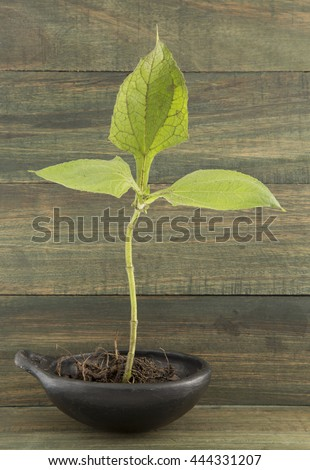 yacón seedlings in the wooden background