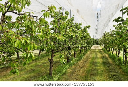 Yard of cherry-trees with protection net.