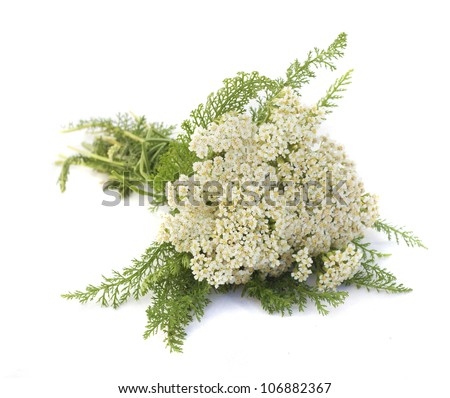 Yarrow herb on white background