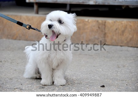 Yawning white dog of lapdog breed sitting on ground on leash with pet collar
