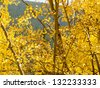 Yellow aspens on sunny Autun day in Colorado. - stock photo