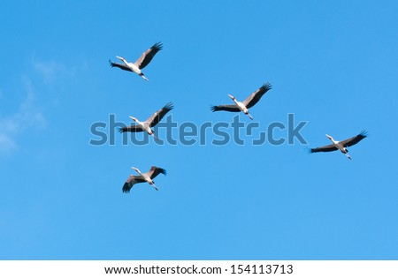 yellow billed storks flying in the national park selous game reserve in tanzania