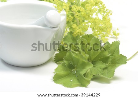Yellow blooming lady's mantle on white background