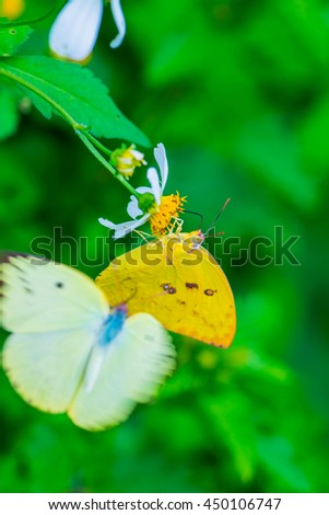 Yellow butterfly on flower in the garden, Thailand