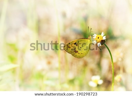 Yellow butterfly on small flower with soft focus light color background