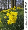 Yellow daffodil wild flowers growing wild in the countryside. - stock photo