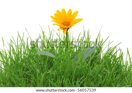 Yellow flower in a grass, isolated on the white