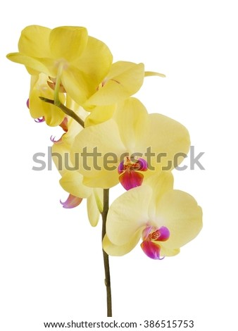 yellow flower of orchid,