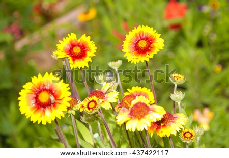 yellow flowers in garden on green background ,bee  on flower ,long petals, amazing ,floral, orange ,yellow flowers with red in the middle ,delicate, special