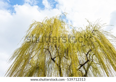 Yellow leaved willow tree with cloudy summer sky background