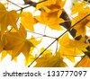 Yellow maple, autumnal ornament - stock photo