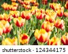 Yellow orange tulips - stock photo