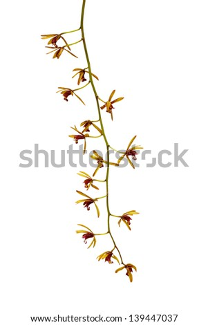 Yellow orchid isolated on a white background