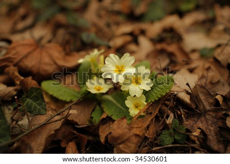 Yellow primrose Primula vulgaris growing wild in the forest in spring