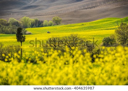 Yellow rape field in the landscape of Tuscany.