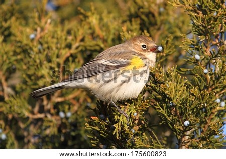 Yellow-rumped Warbler (Dendroica coronata) perched in a cedar tree eating berries