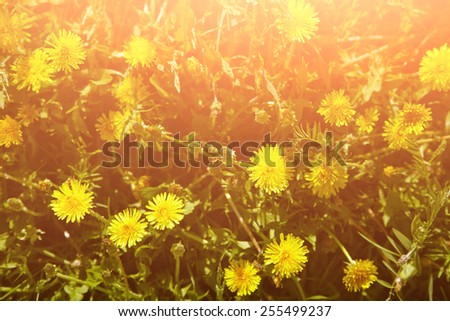 yellow spring dandelions in a meadow. natural background