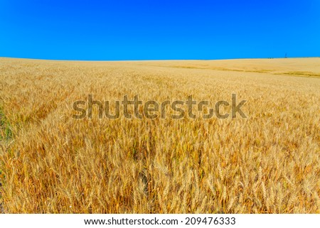 yellow wheat ears on the field on background blue sky