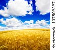 Yellow wheat field under nice blue cloud sky - stock photo