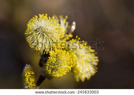 Yellow willow flowers on the branch in spring forest.
