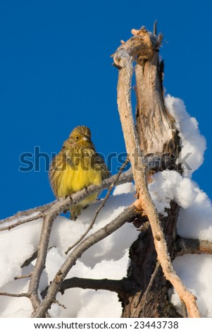 Yellowhammer (Emberiza citrinella) in a cold winter morning
