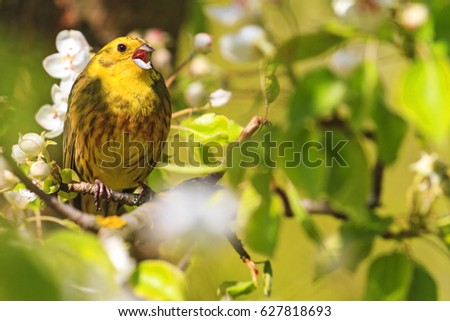 Yellowhammer Of Spring Pear Blossom Sings The Song Amazing Design