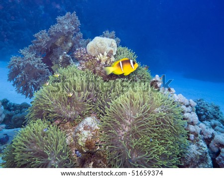 Yellowtail clownfish , Amphiprion clarkii , with sea anemone,  Marsa Alam, Egypt