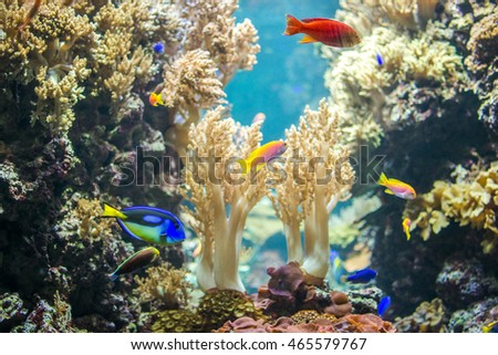 Yellowtail Goldie, Evan's Anthias and Yellow Belly Regal Blue Tang