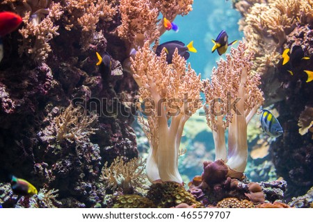 Yellowtail Goldie, Evan's Anthias and Yellow Belly Regal Blue Tang in Tree corals