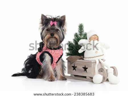 Yorkie puppy with gift boxes on white background