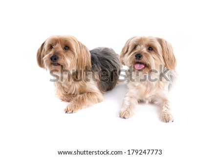 Yorkshire Terrier dogs on a white background