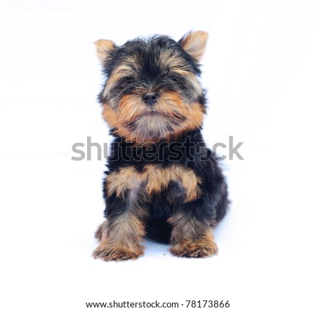 Cute Little Yorkshire Terrier Puppy Isolated Stock Photo ...
