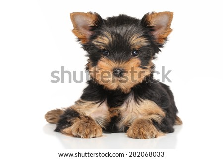 Yorkshire terrier puppy lying down on a white background
