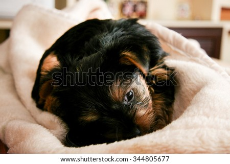 Yorkshire Terrier puppy playing with a blanket at home