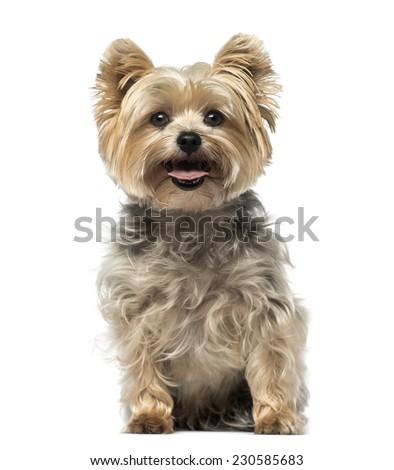 Yorkshire Terrier 4 Ye...