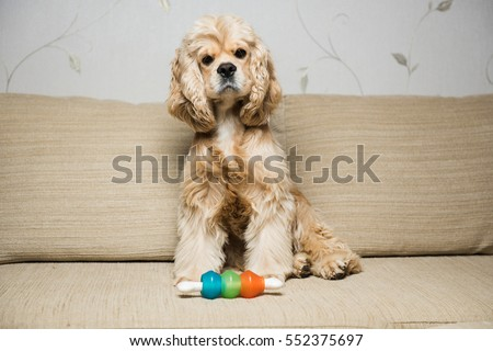 Young American cocker spaniel sitting on a beige sofa. Interior living room. Dog with a toy.