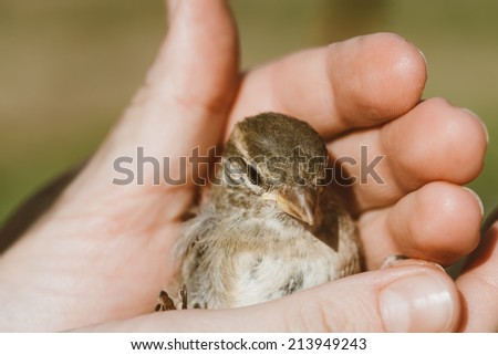 Young Bird Nestling House Sparrow (Passer Domesticus) Chick Baby Yellow-beaked In Female Hands On Brown Wooden Background