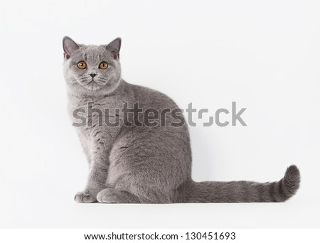 young blue british cat on white background