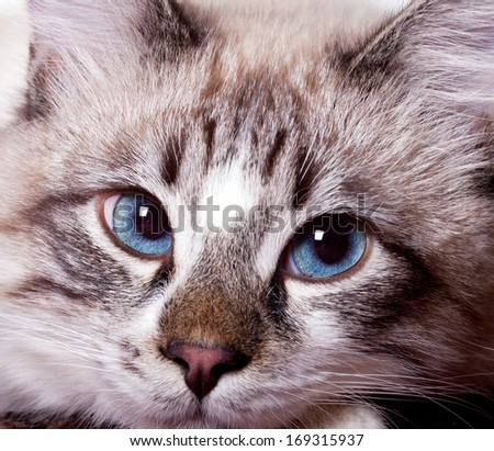 young blue-eyed cat close-up