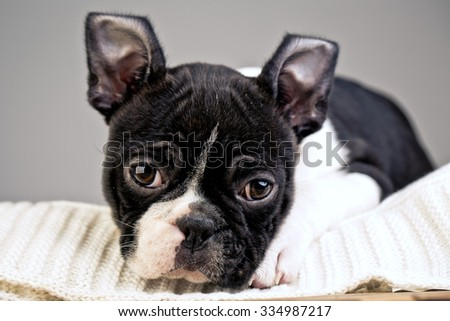 Young Boston Terrier Puppy
