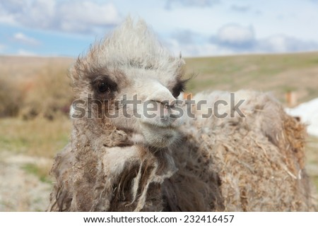 Young camel on a background of the Mongolian yurt