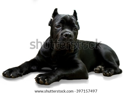 young Cane Corso dog lay down  isolated on a white with little shadow