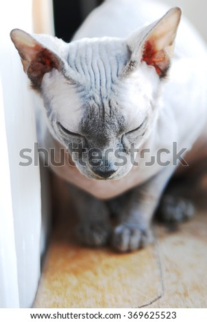Young cat breed Sphynx looking sideways. Sphynx cat color blue Point