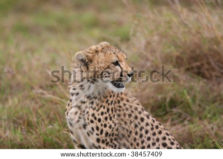 Young Cheetah alertly looking to the right