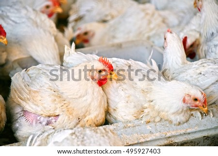 Young chickens on a poultry farm.