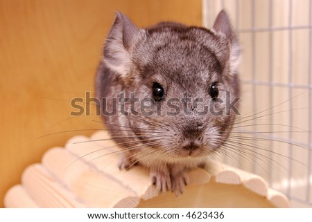 young chinchilla in cage