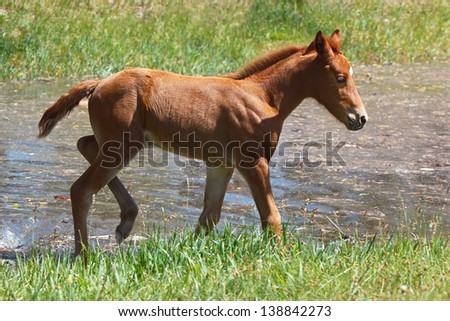 Young colt walking around a small summer pond