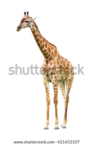 Young cute giraffe isolated on white background