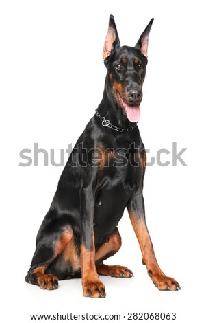 Young Doberman sits on white background