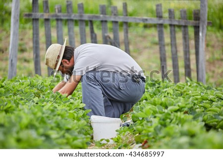 Young farmer picking strawberries in a field